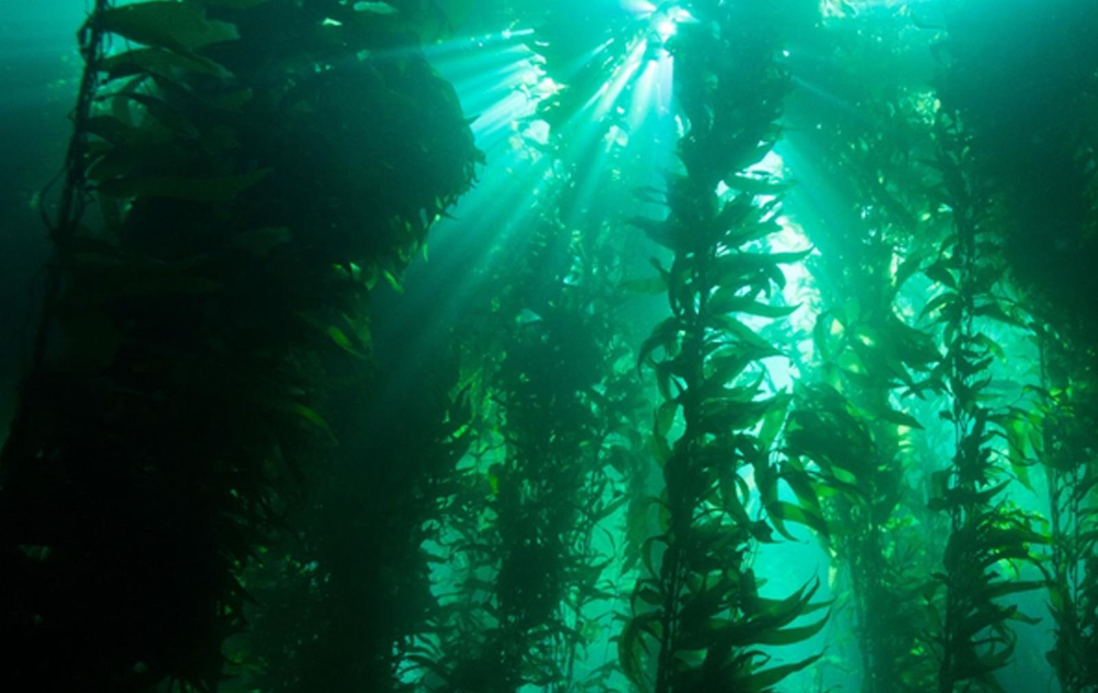 kelp forest cam
