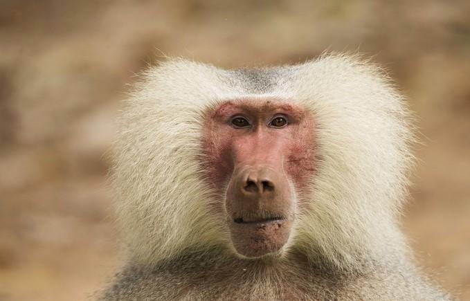 baboon cam