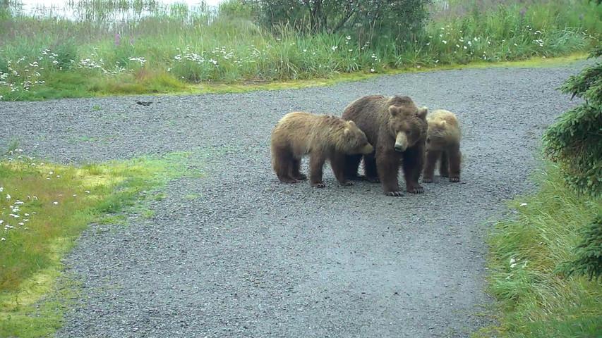 brown bear cam