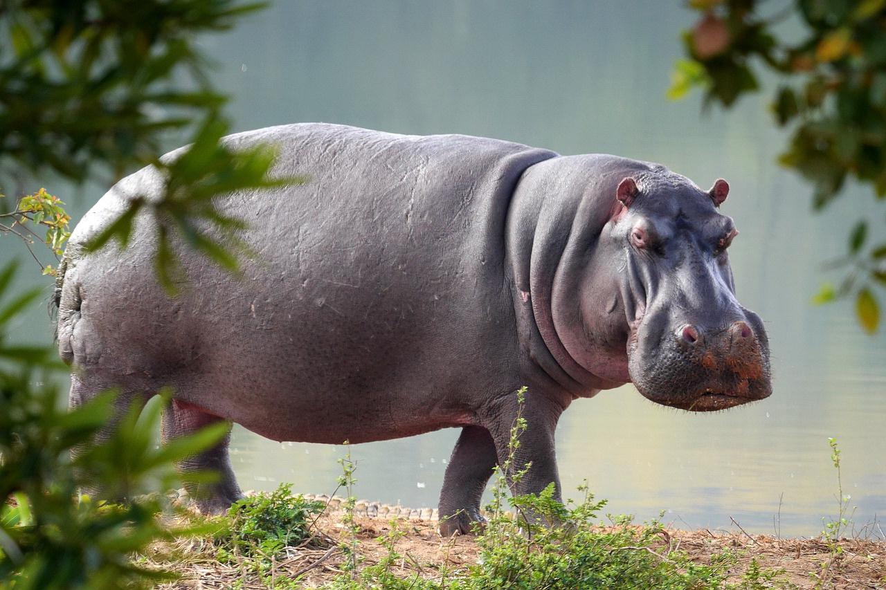 hippo cam